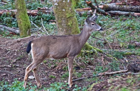 white tail deer: One white tail deer is standing in the forest, near some evergreen trees in this wildlife image