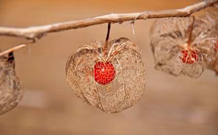 This unusual form of a Chinese lantern plant  Physalis alkekengi , is the skeleton of the plant, showing the seed pod inside after winter   Very delicate with the orange berry inside