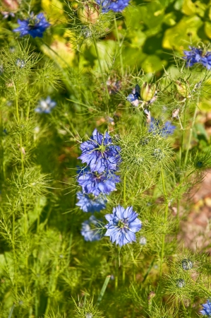 mist flowers blooming, the latin name is Nigella Damascena   photo