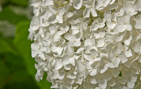 orientated: This is a closeup of a large, white hydranea flower, off center from the center, orientated to the right.  Horizontal summer nature image.