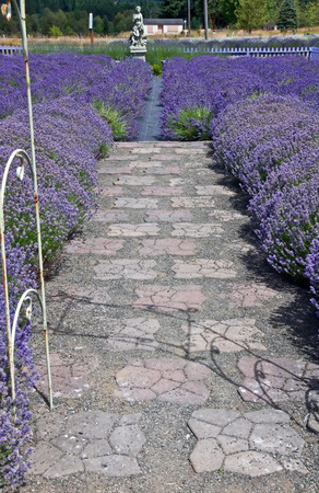 lave: This is a pathway along lavender fields on both side, set in a vertical image.  Just calling out to be walked upon.