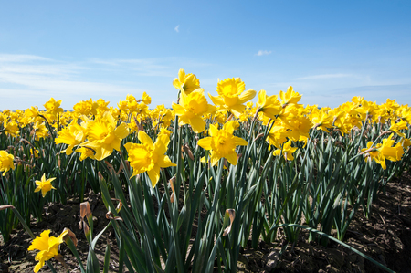 These sunny yellow daffodil flowers are blooming in a large flower field in this nature landscape in spring.  Bright blue sky makes these spring flowers really pop.