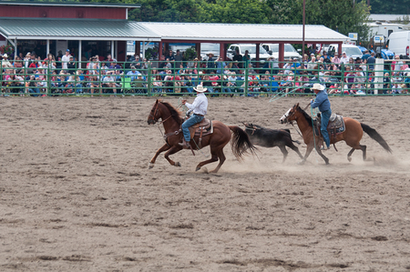 SEDRO WOOLLEY, WAUSA - JULY 4, 2019: These cowboys compete at bulldogging event at the annual 4th of July Loggerrodeo in Sedro Woolley, Wa. one of the longest running rodeos in the state.