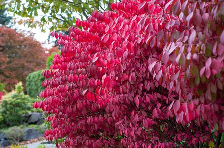 Red burning bush plant with bright red leaves this shrub is know for in the fall. A favorite landscape plant in gardens.