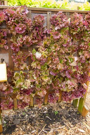 Red lettuce vertical gardening with the vegetable plants growing in a wood structure designed to maximize space in square foot gardening, taking the minimum amount of space as possible to grow a harvest.