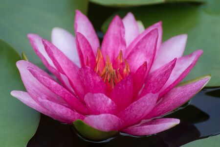 pink lotus flower in pond , tropical natural water lilly blossom in lake or garden in spring season