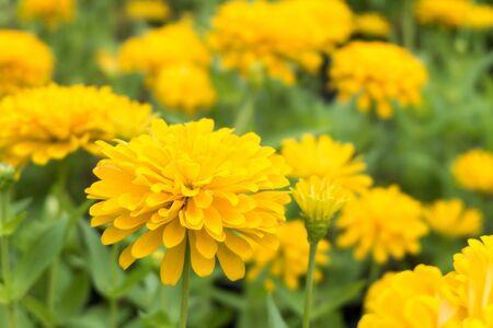 fresh yellow chrysanthemum blossom flower