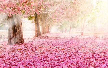 Falling petal over the romantic tunnel of pink flower trees / Romantic Blossom tree over nature background in Spring season / flowers Background 스톡 콘텐츠