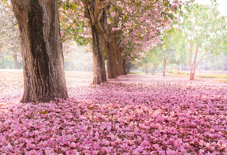 Falling petal over the romantic tunnel of pink flower trees / Romantic Blossom tree over nature background in Spring season / flowers Background Imagens - 78917037