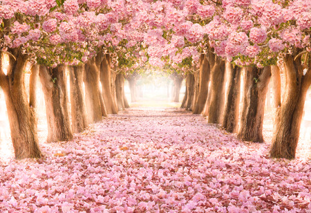 Falling petal over the romantic tunnel of pink flower trees / Romantic Blossom tree over nature background in Spring season / flowers Background Stock Photo