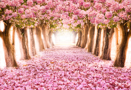 Falling petal over the romantic tunnel of pink flower trees / Romantic Blossom tree over nature background in Spring season / flowers Background Imagens - 78917038