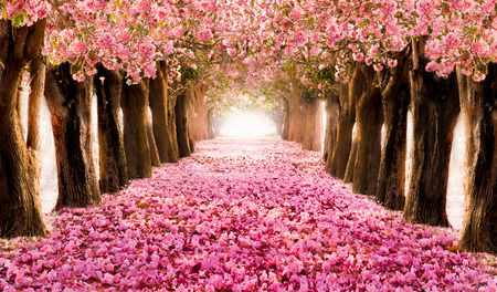 Falling petal over the romantic tunnel of pink flower trees / Romantic Blossom tree over nature background in Spring season / flowers Background Standard-Bild