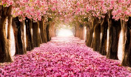 Pétale tombant sur le tunnel romantique des arbres de fleurs roses / arbre de fleurs romantique sur fond de nature en saison de printemps / fond de fleurs Banque d'images