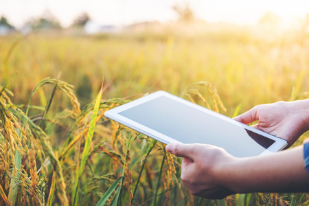 Smart farming Agricultural technology and organic agriculture Woman using the research tablet and studying the development of rice varieties in rice field 免版税图像