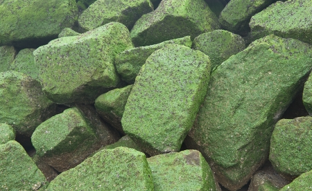 Background � natural stones covered by green seaweed photo