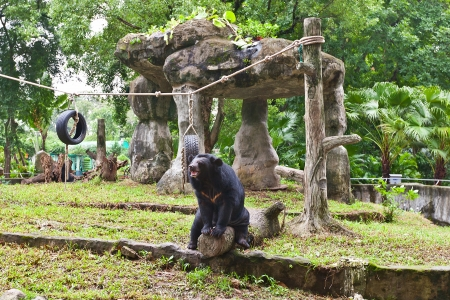 zoo as: Asian black bear  also known as the moon bear or white-chested bear, Ursus thibetanus  in Zoo of Ho Chi Minh city, Vietnam  Saigon Zoo and Botanical Garden, established in 1865, is Vietnam Stock Photo