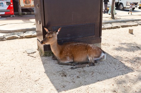 messengers: Sika Spotted Japanese deer Cervus nippon resting in the shadow on the Itsukushima Miyajima Island. In Shinto religion considered to be the messengers of the gods