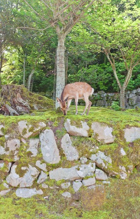 messengers: ITSUKUSHIMA JAPAN  MAY 20 2015: Sika deer Cervus nippon also known as the spotted deer or the Japanese deer on the Itsukushima Miyajima Island. In Shinto religion considered to be the messengers of the gods Editorial