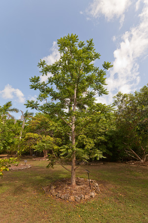 plum island: Ambarella tree (Spondias cytherea, Spondias dulcis, June plum, Kedondong) in Queen Elizabeth II Botanic Park of Grand Cayman, Cayman Islands (British Overseas Territory) Stock Photo