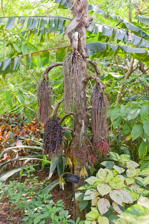 fishtail: Lower part of Giant Fishtail Palm (Caryota no) in Queen Elizabeth II Botanic Park of Grand Cayman, Cayman Islands (British Overseas Territory). It is endemic to the Island of Borneo Stock Photo