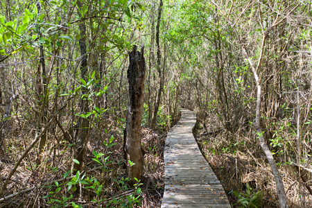 GRAND CAYMAN ISLAND - AUGUST 18, 2017: Footbridge in Boardwalk part of Mastic Trail. Mastic Trail is forest walking path in Mastic Reserve of Grand Cayman, Cayman Islands (British Overseas Territory) 新聞圖片