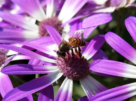 Bee Collecting honey in a African daisies with bright sun ray