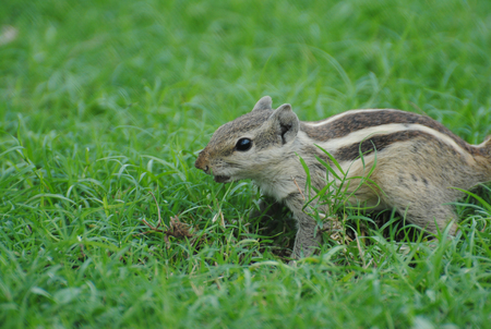 Rock squirrel playing in green grass