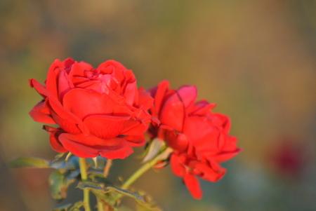 Red Roses spreed love in Zdjęcie Seryjne