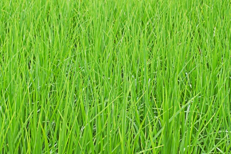It is Green grass for pattern and background. photo