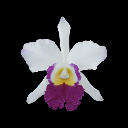 It is White and purple orchid isolated on black. photo