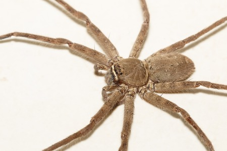 wolf spider: It is One spider isolated on white background.