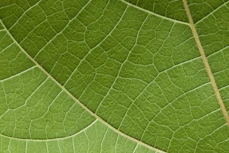 Het is Groene blad textuur voor patroon.
