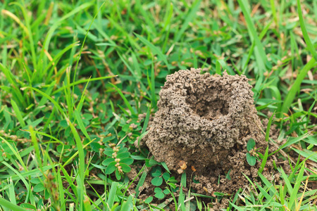 anthill: It is Anthill with green grass background.