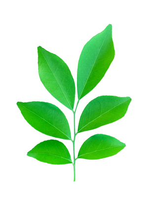 verdant: It is Green leaves with stem isolated on white.