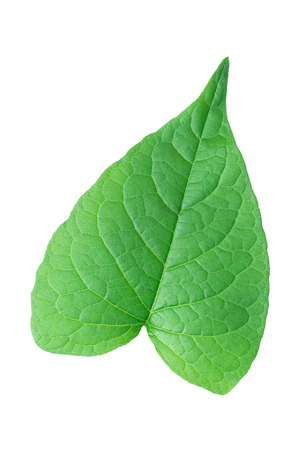small vein: It is One green leaf like heart shape isolated on white. Stock Photo
