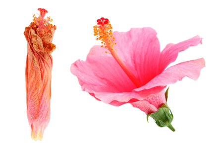 wilted: It is Wilted and bloom hibiscus Rosa sinensis flower isolated on white. Stock Photo