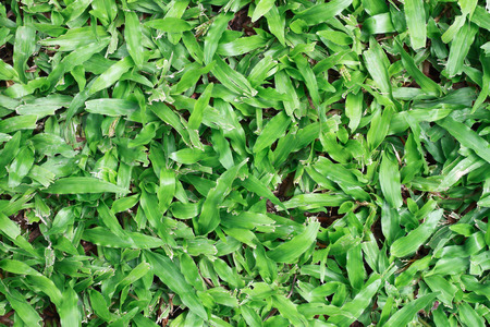 carpet grass: It is Green tropical carpet grass for pattern and background. Stock Photo
