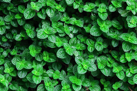 minted: It is Green mint leaves background.