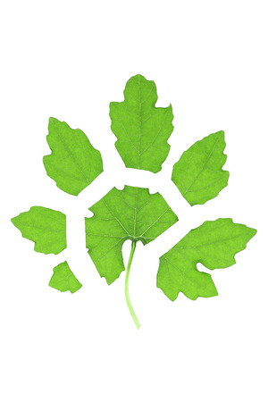 serrated: it is cutting leaf isolated on white. Stock Photo