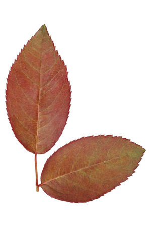 rubicund: it is two young rose leaves isolated on white.