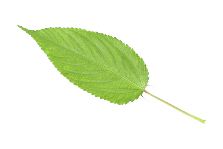serrated: it is one serrated green leaf isolated on white. Stock Photo