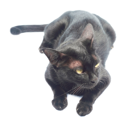 it is one laying black cat isolated on white.