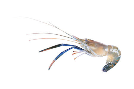 it is one giant freshwater prawn isolated on white. Stok Fotoğraf