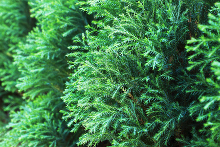 enebro: it is green pine tree leaf for pattern and background.