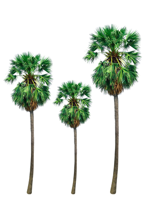 sugar palm: it is sugar palm tree or toddy palm isolated on white.