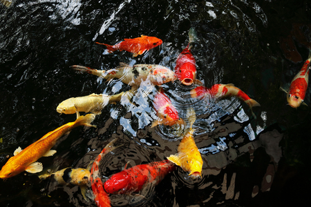 koi: it is fancy carp or mirror carp swim in the pool.