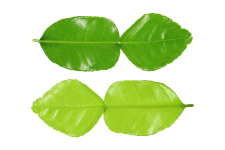 it is green kaffir lime leaf front and back side isolated on white.