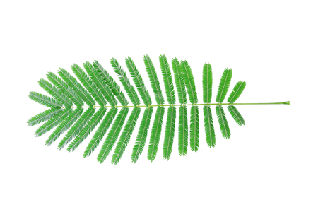 it is green acacia pennata leaves isolated on white. Stock Photo