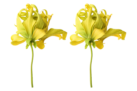 it is ylang ylang flowers isolated on white.