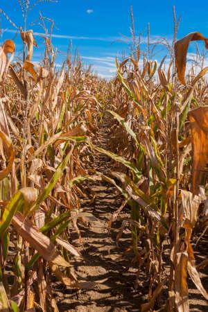 champ de maïs: Un chemin de boue à travers un champ de maïs sans fin à l'automne